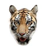 孟加拉查出老虎白色 免版税库存照片