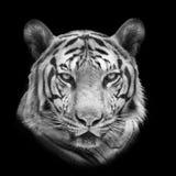 孟加拉查出老虎白色 免版税库存图片