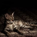 孟加拉棕色猫 库存照片
