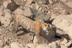 孟加拉热公园ranthambhore老虎年轻人 免版税库存照片