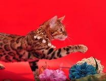 孟加拉猫和首饰 库存图片