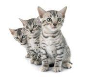 孟加拉猫在演播室 库存图片