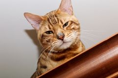 孟加拉猫坐碗柜 库存图片