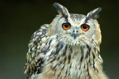 孟加拉猫头鹰 免版税库存照片
