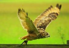 孟加拉猫头鹰 库存图片