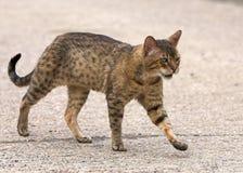 孟加拉猫家谱 免版税库存照片