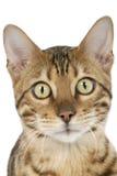 孟加拉猫老虎 免版税库存图片