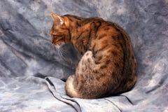 孟加拉猫镶边老虎 免版税库存照片