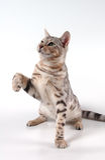 孟加拉猫 免版税库存图片