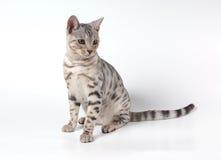 孟加拉猫 免版税库存照片