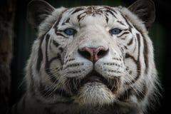 孟加拉白色老虎 免版税库存照片