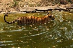 孟加拉皇家老虎趟过水 库存照片