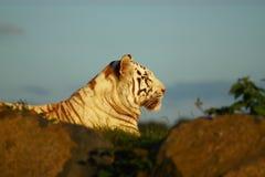 孟加拉皇家老虎 免版税库存图片