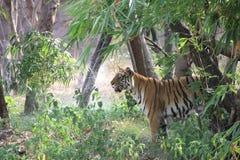 孟加拉皇家老虎 免版税库存照片