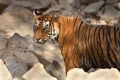 孟加拉纵向皇家老虎 图库摄影
