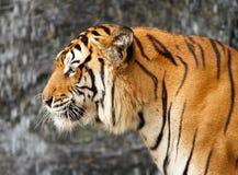 孟加拉纵向老虎 免版税库存照片