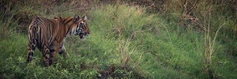 孟加拉老虎全景在象草的小山的 免版税库存图片