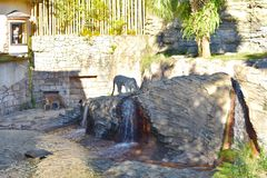 孟加拉老虎和白色老虎饮用水,而妇女通过窗口看布什庭院Ta 库存照片