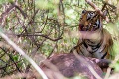 孟加拉老虎哺养 免版税库存图片