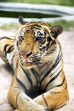 孟加拉老虎在一个动物园里在百万年石公园 库存图片