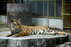 孟加拉老虎在动物园里 免版税库存图片