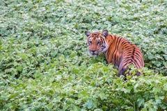 孟加拉老虎在栖所 库存图片