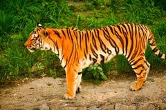 孟加拉老虎在绿草背景站立  免版税图库摄影