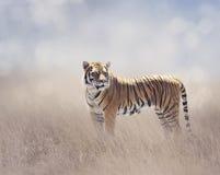 孟加拉老虎在草原 免版税图库摄影