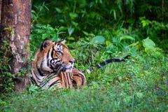 孟加拉老虎在豪华的绿色栖所 库存照片