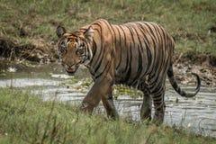 孟加拉老虎在阳光下攀登象草的河岸 库存照片