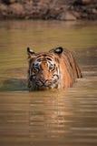孟加拉老虎在阳光下攀登象草的河岸 免版税图库摄影
