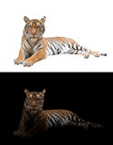 孟加拉老虎在黑暗和白色背景中 库存照片