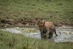 孟加拉老虎在晴朗的草甸横渡小河 免版税库存照片