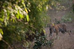 孟加拉老虎在Bandhavgarh国家公园 免版税库存照片