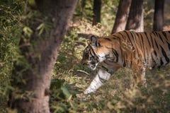 孟加拉老虎在Bandhavgarh国家公园 库存照片