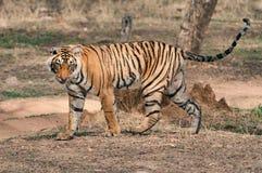 孟加拉老虎在Ranthambore国家公园 库存照片