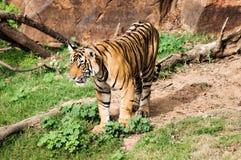 孟加拉老虎在Ranthambore国家公园 图库摄影