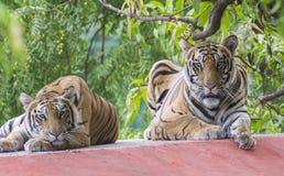 孟加拉老虎对 免版税库存照片