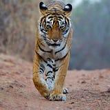 孟加拉老虎是豹属底格里斯河底格里斯河人口在印度次大陆 免版税库存照片