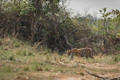 孟加拉老虎横渡有后边灌木的草甸 免版税图库摄影