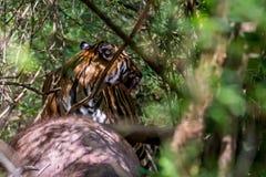 孟加拉老虎狩猎 图库摄影
