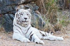 孟加拉老虎白色 库存照片