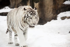 孟加拉老虎白色 库存图片