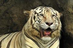 孟加拉老虎白色 图库摄影