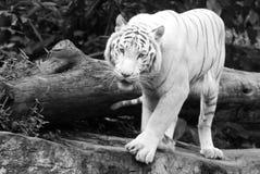 孟加拉老虎白色 免版税库存图片