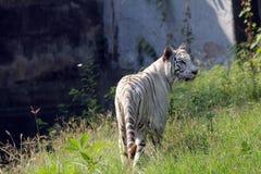 孟加拉老虎白色 免版税图库摄影