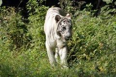 孟加拉老虎白色 免版税库存照片