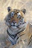 孟加拉老虎的纵向 免版税库存图片