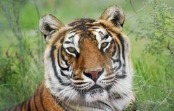 孟加拉老虎的画象在森林里 库存图片