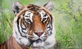 孟加拉老虎的画象在森林里 免版税库存照片